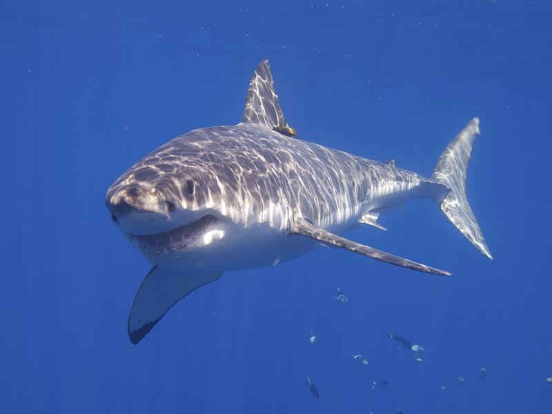 A Great White shark swims off Guadalupe Island on the pacific coast of Mexico.