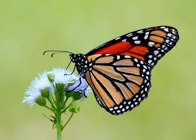 Monarch butterfly populations have declined by more than 90 percent in North America.