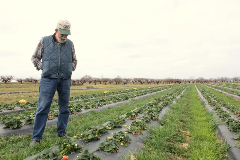Gary Marburger owns Marburger Orchard in Fredericksburg. He gambled on a warm winter and was repaid with a January crop of strawberries.