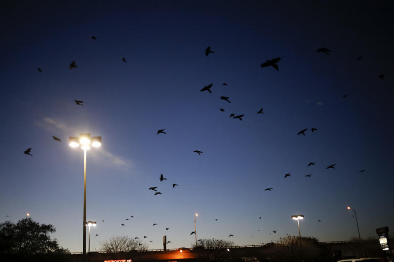 "A so-called ""plague"" of grackles outside the Hancock Center H-E-B."
