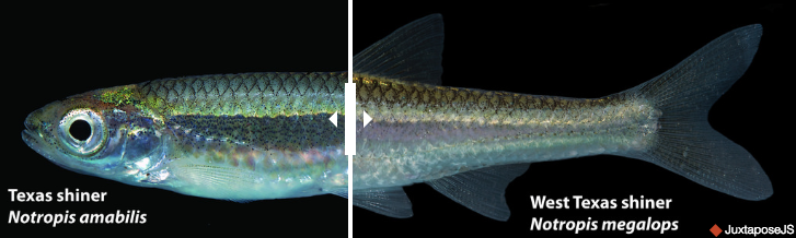 One scientist thought he'd found an undiscovered minnow in Texas, but taxonomist Charles Girard had beat him to it nearly 150 years before. You can see the full interactive comparison of the two minnows below.