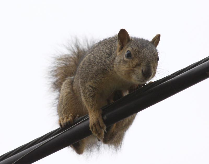 Turns out, squirrels are more of a threat to Austin's power grid than any form of cyber attack.