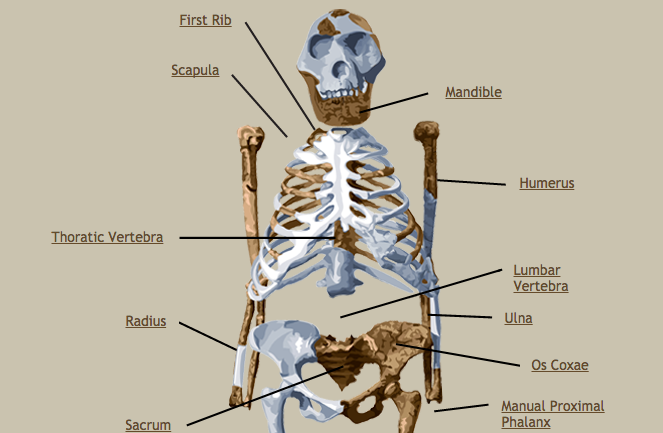Did Lucy The 3 Million Year Old Hominid Fall From A Tree Kut