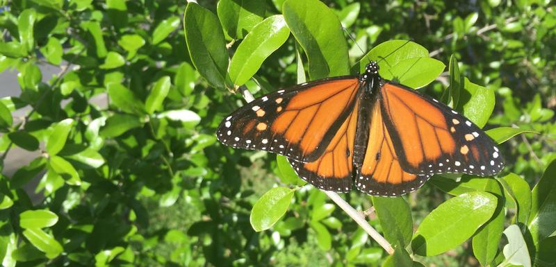 As monarchs make their way through Central Texas, some worry plants like milkweed could lower the insects' ability to thrive.