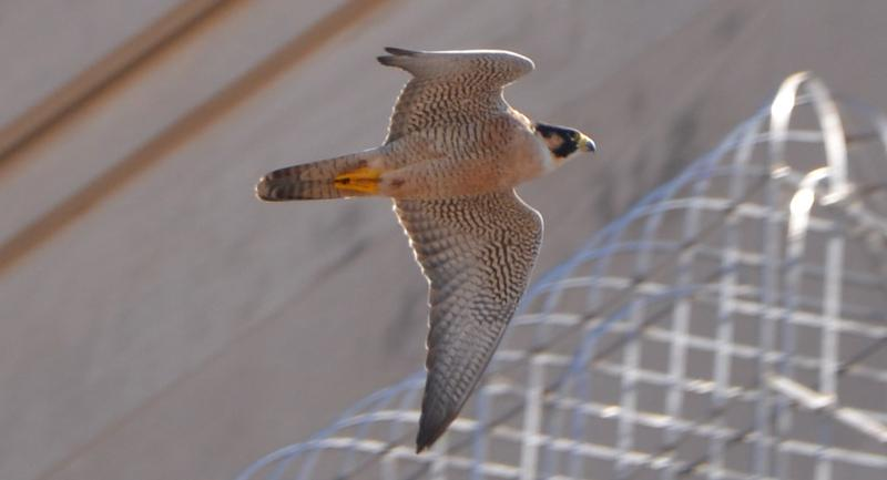 The resident female peregrine falcon zooming by the UT Tower.