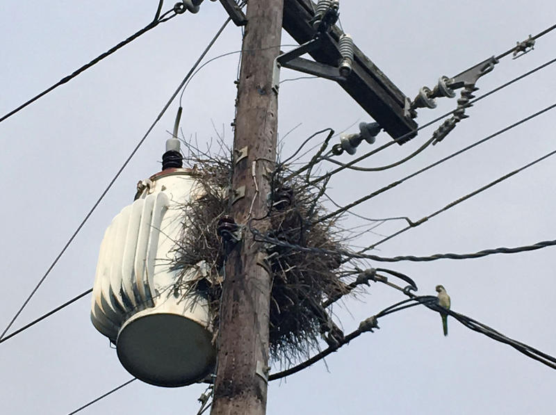 A Monk parakeet nest at the top of an energy pole.