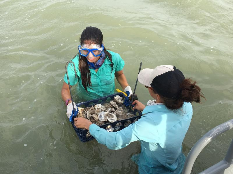 Texas A&M Corpus Christi graduate student Meghan Martinez and research associate Natasha Breaux transfer a tray of discarded oyster shells into a recently restored oyster reef in St. Charles Bay.