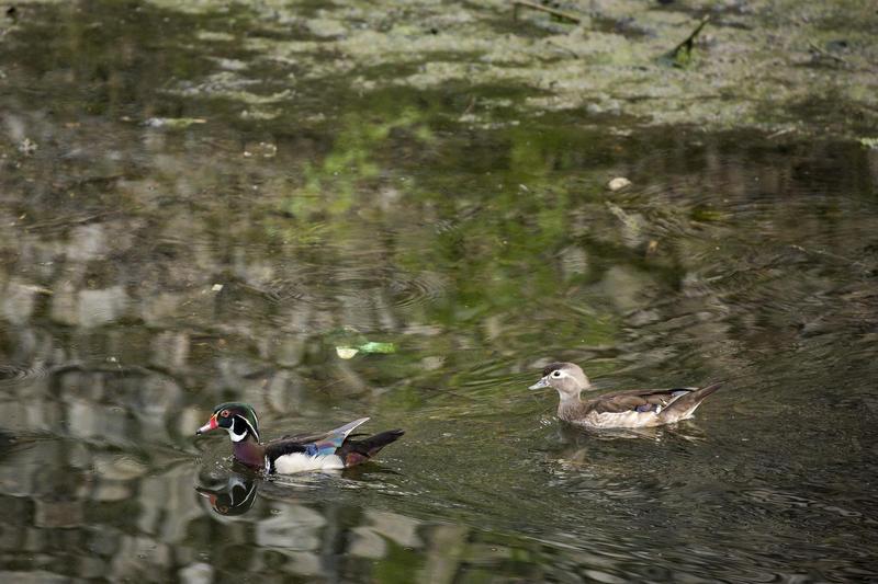 A pair of wood ducks swim in Boggy Creek.