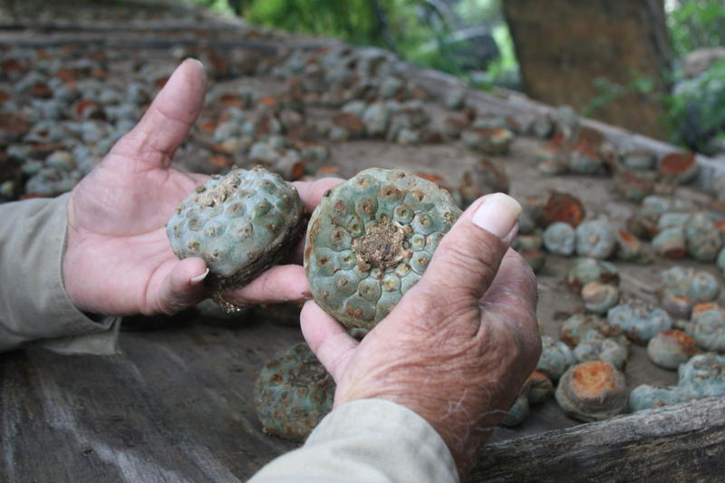 Payote seller Salvador Johnson holds two peyote buttons. He has about 80,000 more on his property.