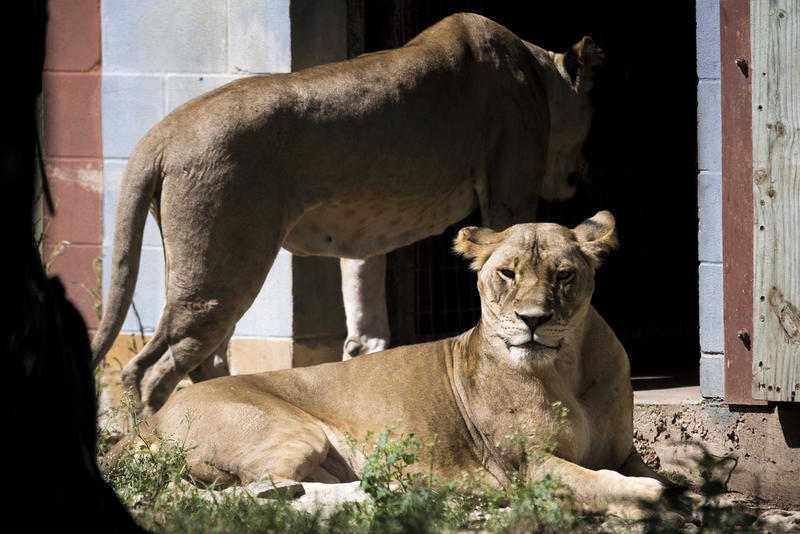 A pair of lions relocated to the Austin Zoo from Victoria after Hurricane Harvey.