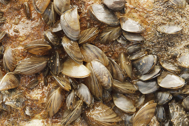 Austin Water says zebra mussels (pictured here at Lake Texoma) are behind the stench emanating from Austin's tap water.
