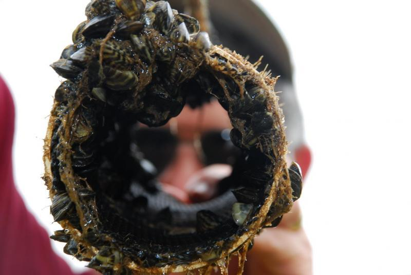 Zebra mussels can clog pipes.