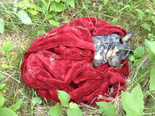 Blue heeler Cisco, dead after being shot by an officer with the Austin Police Department.