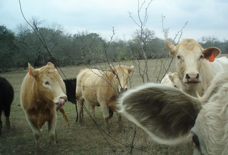 Texas cattle prices may not see a big impact from a discovery of mad cow in California