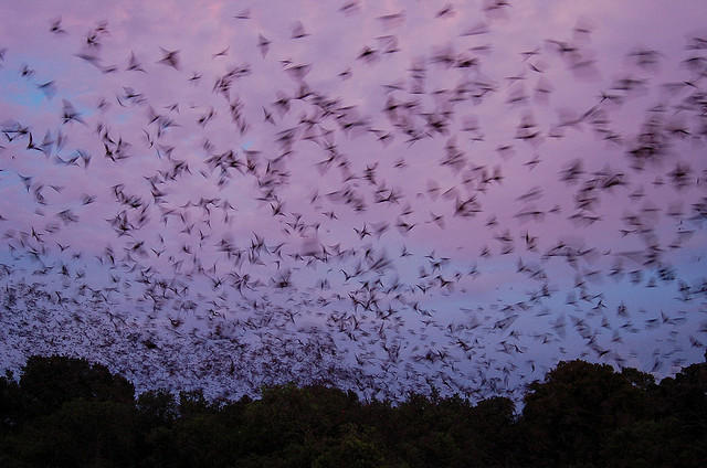 The Bracken bats, seen leaving their cave at dusk.