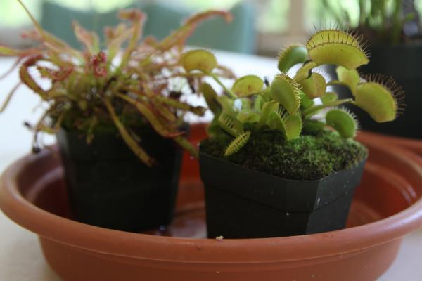 Some types of Drosera (or Sundew, left) and Dionaea (Venus Flytrap) are native to Texas soil.