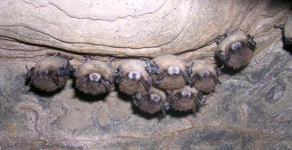 A little brown bat found in a New York cave exhibits fungal growth on its muzzle, ears and wings.