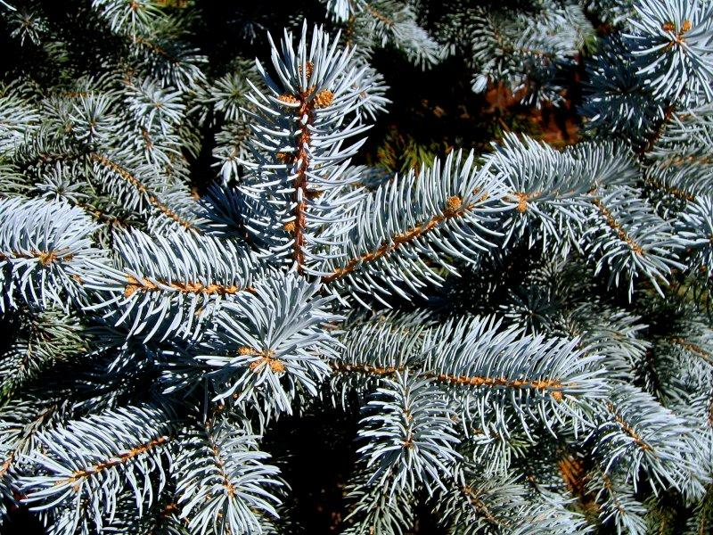 Where Are All Of Texas' Christmas Trees Coming From?