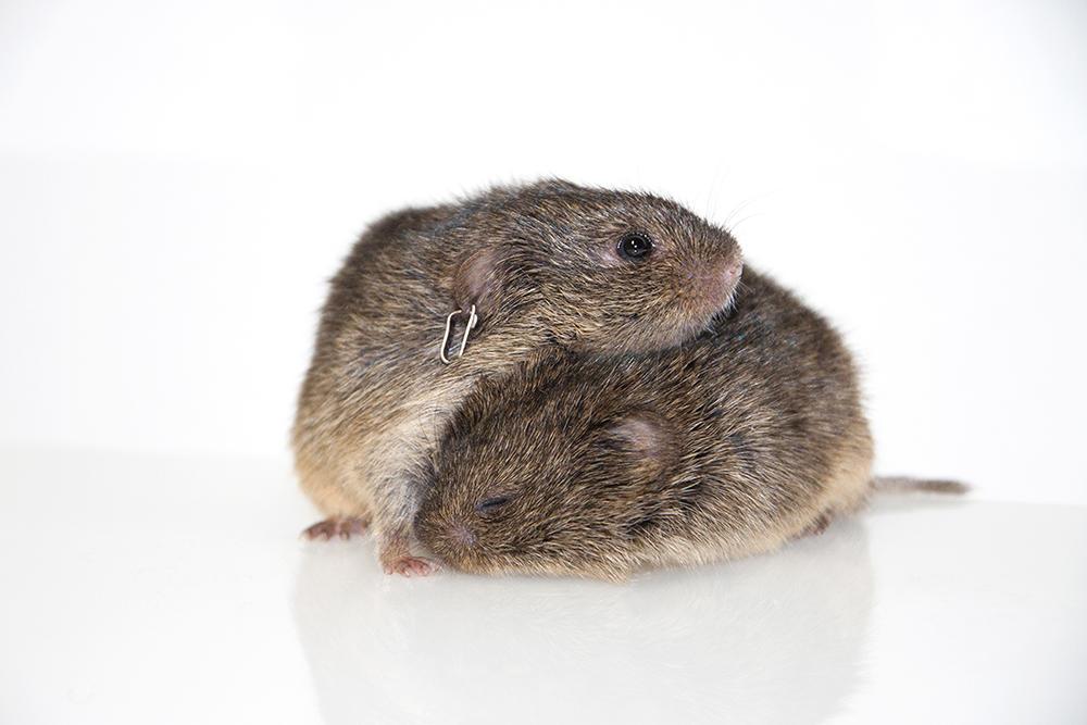 Prairie voles sexual monogamy