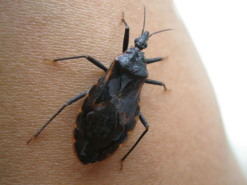 this bug spreads a disease that might not show symptoms for years kut