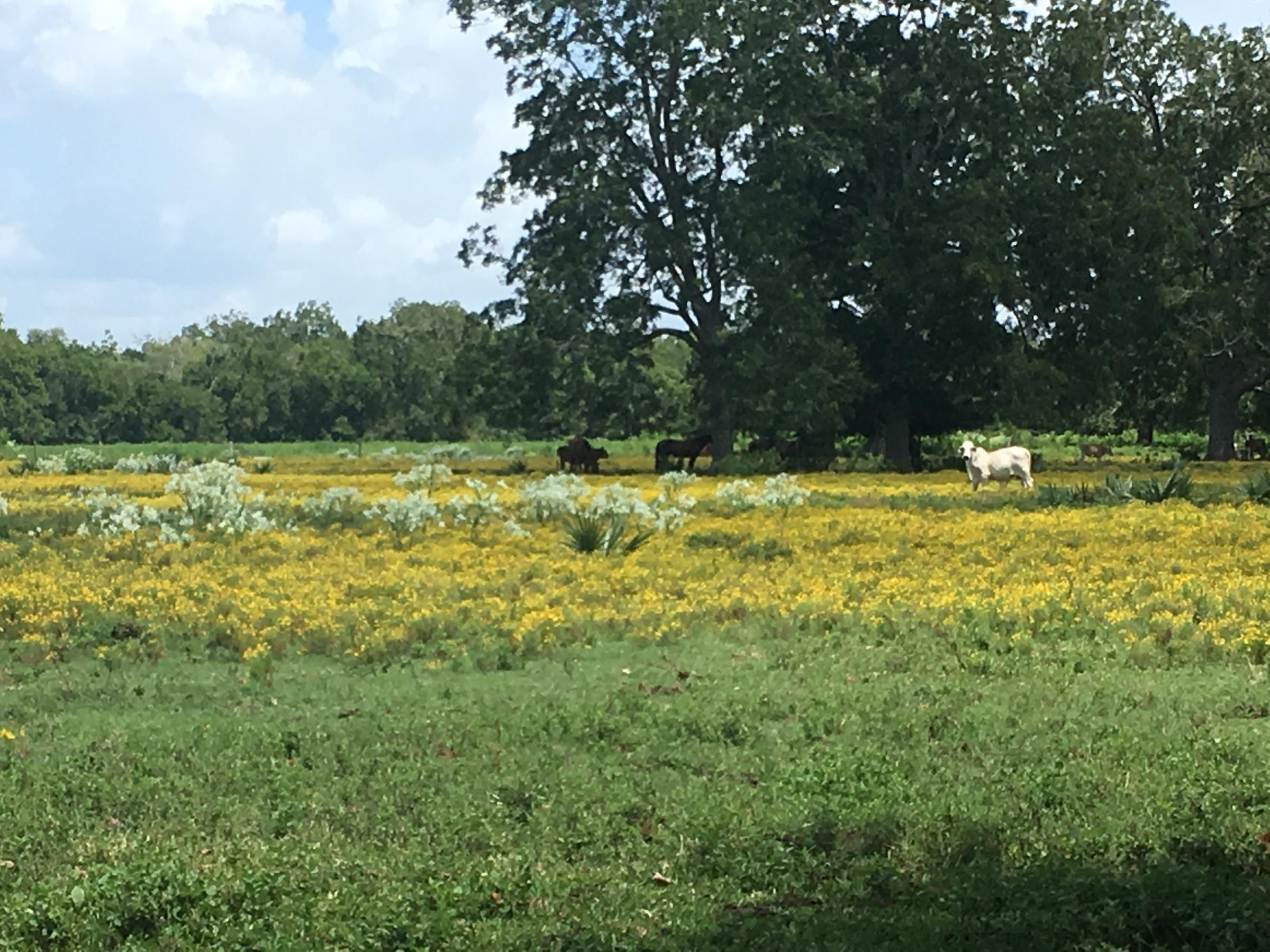 In Brazoria County Ranchers Biggest Post Storm Battle Is Often A