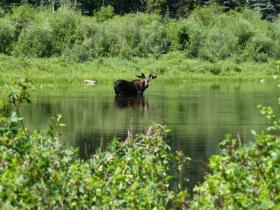 A moose takes a bath while onlookers snap photographs