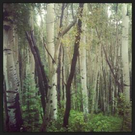 Yellowing Aspen trees along Kebler Pass