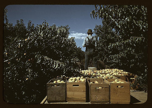 Hauling crates of peaches from the orchard to the shipping shed, 1940.