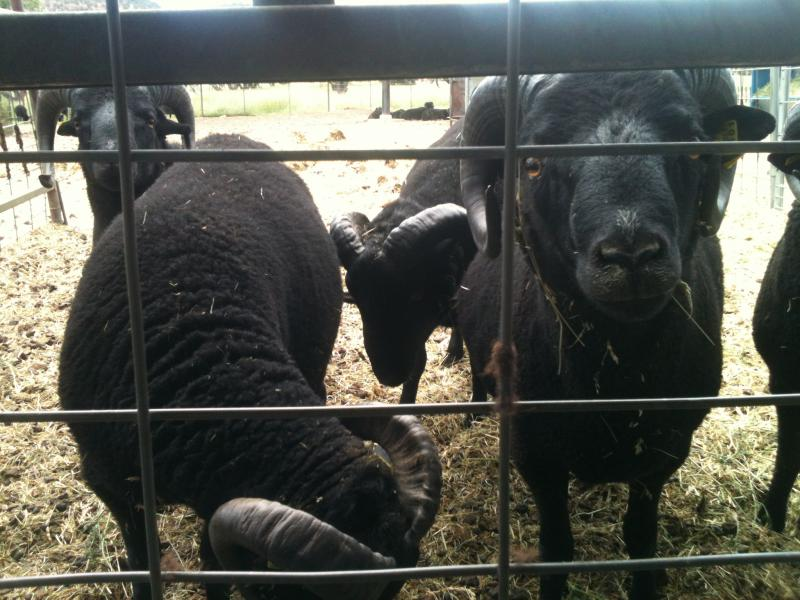 Desert Weyr's Black Welsh Mountain Sheep.