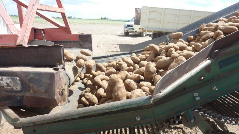 A conveyor belt transports potatoes from Shriver's storage shed to a bagging operation.  This load of potatoes is headed for North Carolina.
