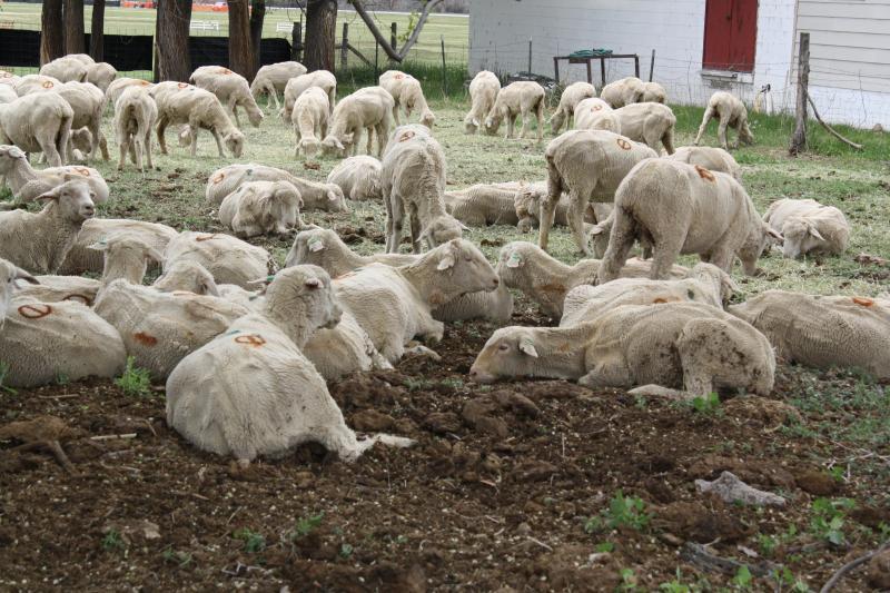 Shorn sheep at the 2014 Hotchkiss Sheep Dog Trials event.