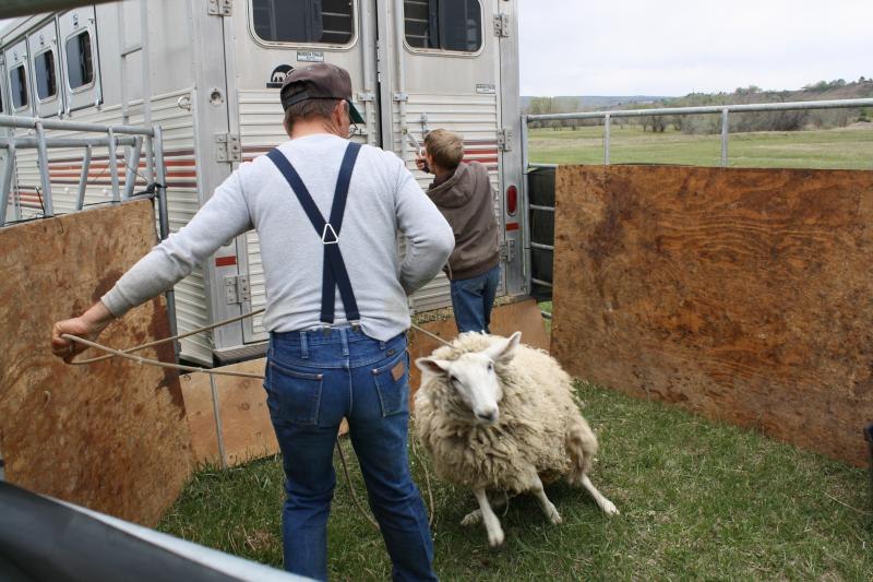 Doug Hamilton has put on shearing demonstrations for nearly a decade.