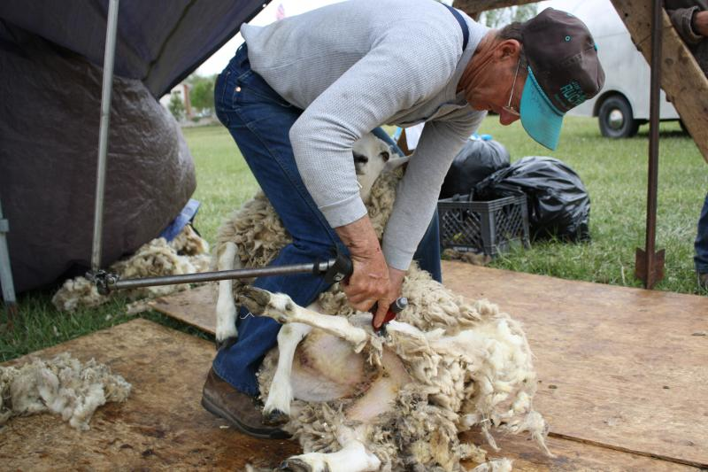 Doug Hamilton has been shearing sheep for 50 years.