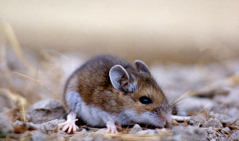 deer mice, deer mouse