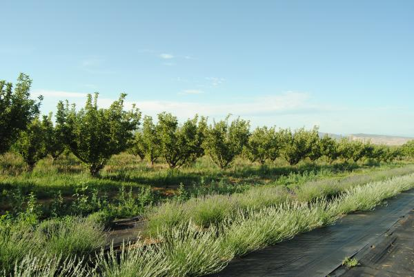 Apple trees and lavender grow in Hotchkiss, Colorado