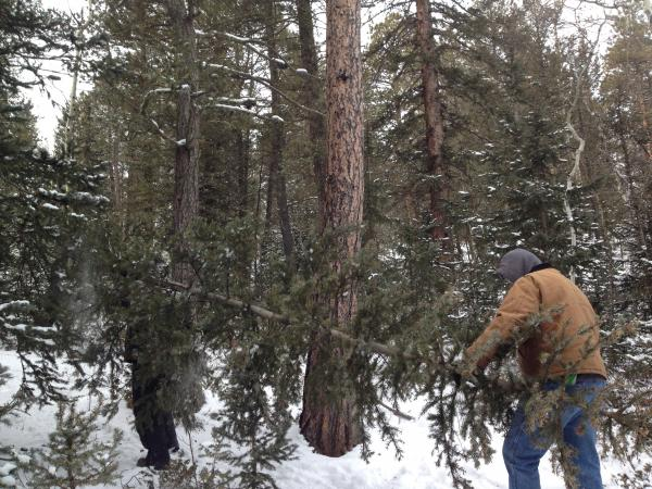 A tree hunter sizes up his harvest in Pike National Forest