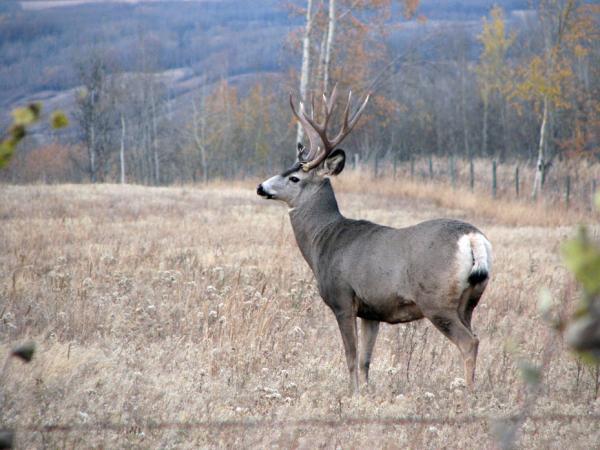 A mule deer buck.