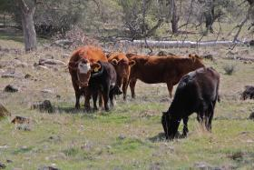 Cattle from the Sierra Lands Beef program graze on land that is part of the Sierra Foothill Conservancy's McKenzie Preserve, in March 2012. - file photo