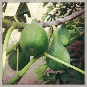 There were still some figs in north Fresno back in 1991.
