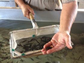 The hatchery grows fish from egg to full size fish.