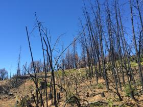 Burned trees remind locals of the devastation left behind by the Rim Fire, the largest wildfire recorded in the Sierra Nevada.