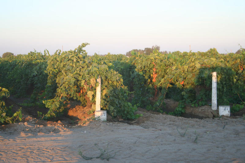 A vineyard of Thompson seedless grapes west of Fresno