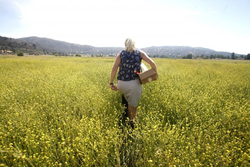 Cal State Bakersfield microbiologist Antje Lauer wades through mustard plants in Bear Valley Springs to collect a soil sample.