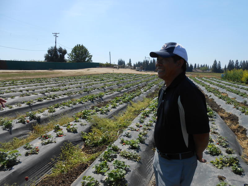 Pao Saephan grows three acres of strawberries on his 20-acre plot of land in Reedley.