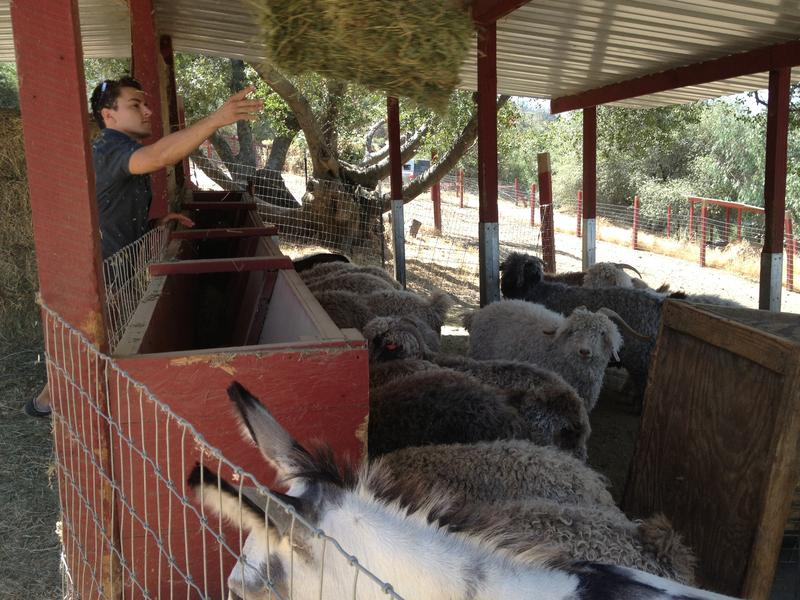 Allen Mesick feeds his goats an alfalfa and hay mix.