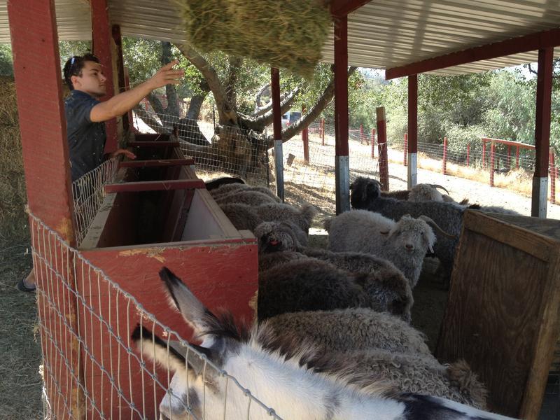 Allen Mesick feeds his goats an alfalfa and hay mix.