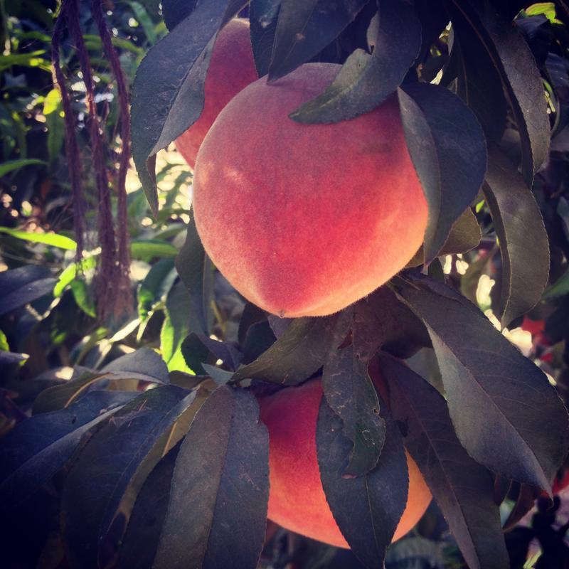 At Masumoto Family Farms in Del Rey, peaches are harvested every summer.