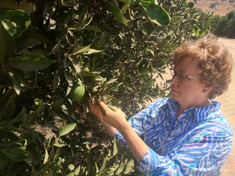 Beth Grafton-Cardwell has been studying the citrus psyllid for years. She warned the citrus industy years prior to the finds in 2012.