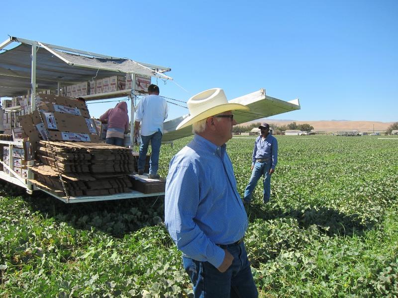 Los Banos farmer Joe Del Bosque looks out over his cantaloupe field.