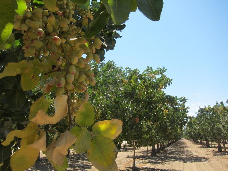 Pistachio orchards near Bakersfield, CA